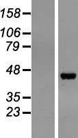 NBL1-14327 - Progastricsin Lysate