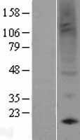 NBL1-14806 - Prokineticin 1 Lysate