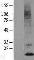 NBL1-14807 - Prokineticin 2 Lysate