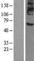 NBL1-14811 - Prominin 2 Lysate
