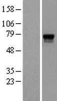 NBL1-14190 - Proprotein Convertase 2 Lysate