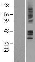 NBL1-14933 - Prostaglandin E Receptor EP3 Lysate