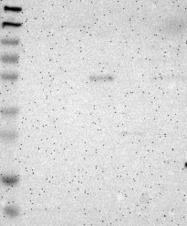 NBP1-84834 - PTGER4