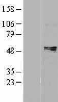 NBL1-14934 - Prostaglandin E Receptor EP4 Lysate