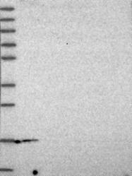 NBP1-87852 - PTGES