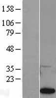 NBL1-14935 - Prostaglandin E Synthase Lysate