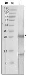 NBP1-51541 - Kallikrein-3 / PSA / KLK3