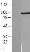 NBL1-14900 - PSMD2 Lysate