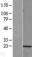 NBL1-14885 - Proteasome 20S LMP2