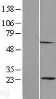 NBL1-14872 - Proteasome 20S alpha 2 Lysate