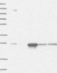 NBP1-86837 - PSMA5