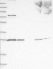 NBP1-86839 - PSMA5