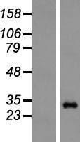 NBL1-14874 - Proteasome 20S alpha 6 Lysate