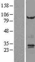 NBL1-14879 - Proteasome subunit beta type 4 Lysate