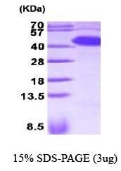NBP1-30282 - SERPINA5