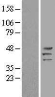 NBL1-14765 - Protein Kinase A regulatory subunit I alpha Lysate