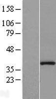 NBL1-14672 - Protein Phosphatase 1 beta Lysate