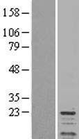 NBL1-14678 - Protein Phosphotase inhibitor 1 Lysate