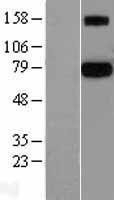 NBL1-14812 - Protein S Lysate
