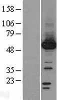 NBL1-14661 - Protein phosphatase 1F Lysate