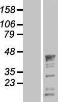 NBL1-15026 - Protein quaking Lysate
