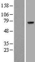 NBL1-10407 - Prothrombin Lysate