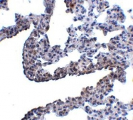 NBP1-77002 - Protocadherin-12 / PCDH12