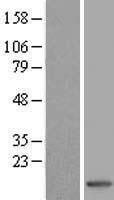 NBL1-15659 - S100A7 / Psoriasin Lysate