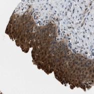 NBP1-87787 - Pyrophosphatase 1 / PPA1