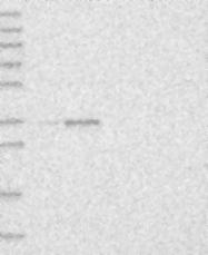 NBP1-87421 - PDHB