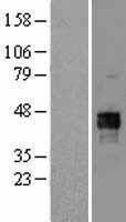 NBL1-14241 - Pyruvate Dehydrogenase E1-alpha subunit Lysate