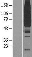 NBL1-14460 - Pyruvate Kinase Lysate