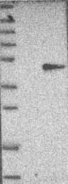 NBP1-81838 - Glutamyl cyclase / QPCT