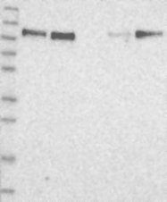 NBP1-82196 - QRICH1