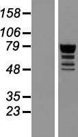 NBL1-15031 - QRICH1 Lysate