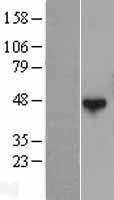NBL1-15035 - QTRTD1 Lysate