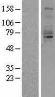 NBL1-15033 - Quiescin Q6 Lysate