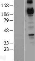 NBL1-09033 - R Cadherin Lysate