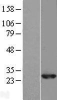 NBL1-15037 - RAB10 Lysate