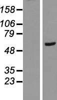 NBL1-15039 - RAB11FIP2 Lysate