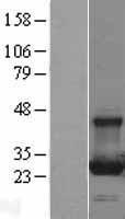 NBL1-15040 - RAB13 Lysate