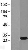 NBL1-15041 - RAB14 Lysate