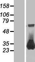 NBL1-15054 - RAB26 Lysate
