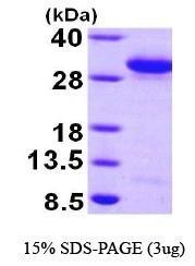 NBP1-44380 - RAB27A / RAB27