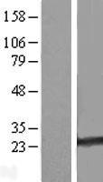 NBL1-15064 - RAB35 Lysate