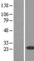 NBL1-15066 - RAB37 Lysate