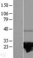 NBL1-15067 - RAB37 Lysate