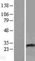 NBL1-15068 - RAB38 Lysate