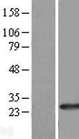 NBL1-15070 - RAB39B Lysate