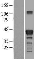 NBL1-15074 - RAB3IL1 Lysate